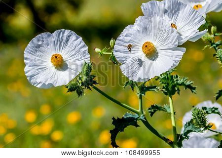 Closeup Of A Flying Honey Bee Near A White Prickly Poppy Wildflower