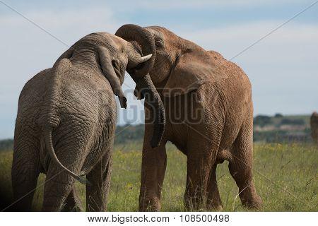 Kissing Elephants