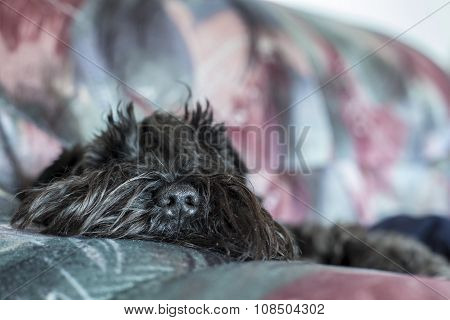 Funny Dog Schnauzer Tired And Lying On The Sofa, Close-up Nose Visible