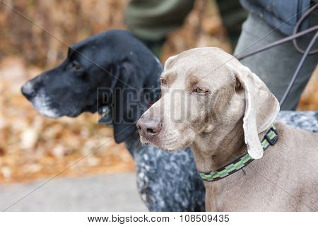 portrait of hunting dogs