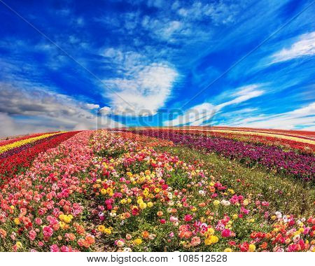 The field of buttercups /ranunculus/ on  windy spring day. The flowers are brightly colored stripes and ready to harvest