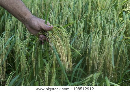 Rice Plants And Farmer's Hand