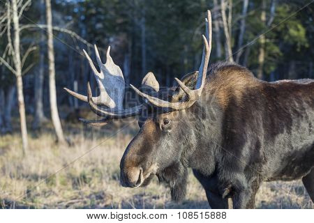 A large bull moose in the fall