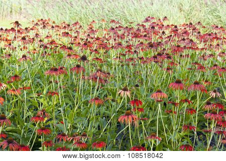 flowerbed of echinacea flowers