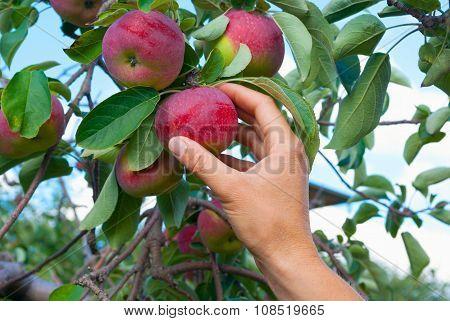 apple picking hand