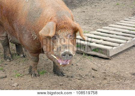 big dirty pig pork