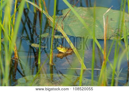 frog on lily in a swamp