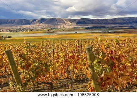Orange Yellow Leaves Vines Rows Grapes Fall Vineyards Red Mountain Benton City Washington