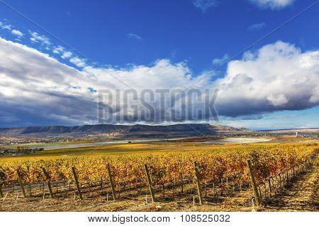 Orange Yellow Leaves Vines Rows Grapes Fall Vineyards Red Mountain Benton City Washington
