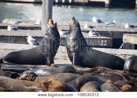 California Sea Lions, Males (Otariinae), Pier 39, San Francisco