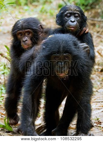 Three Cubs Of Chimpanzee Bonobo ( Pan Paniscus)