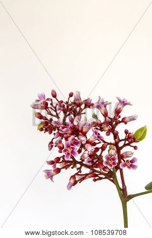 Carambola Flowers