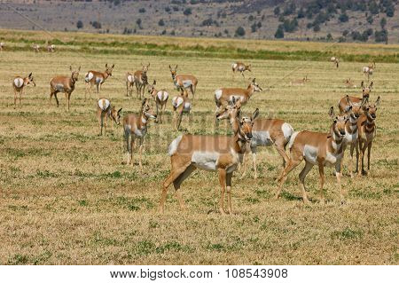 Herd of wild North American Pronghorn