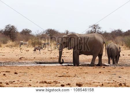 Herd Of African Elephants At A Waterhole