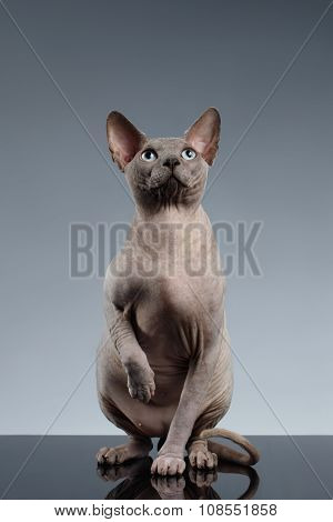 Sphynx Cat Sits And Looking Up On Black