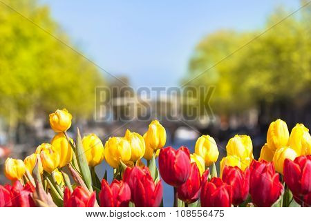 Tulip Blossoms in Amsterdam