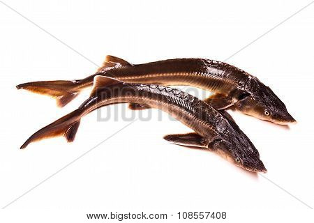 Fresh Sterlet Fish Isolated On White. Sterlet Is A Small Sturgeon.