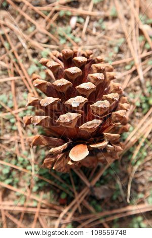 Pine Cones in a yard