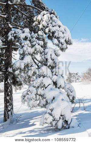 Snowy Conifer Tree In The Winter Nature