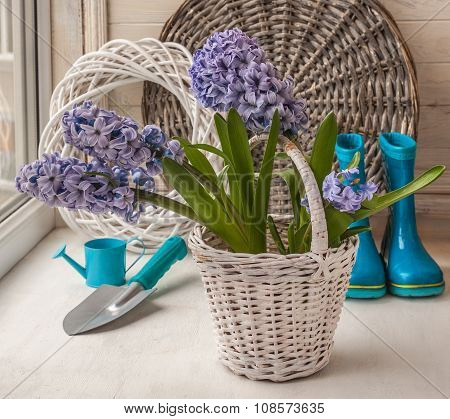Hyacinths In A White Basket