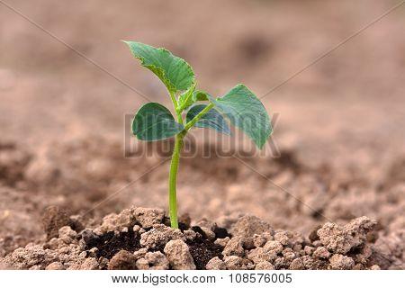Cucumber Seedling In The Vegetable Garden