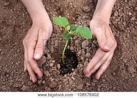 Hands Planting Cucumber Seedling