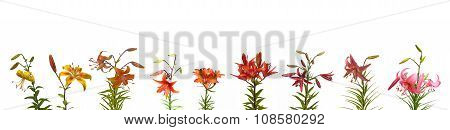 Set Branchs Of   Lilies Asian Hybrids With Buds And A Blossoming Flower