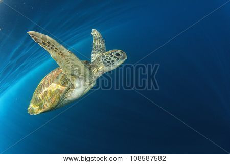 Green Sea Turtle underwater