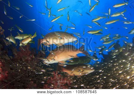Fish underwater: Emperors and Snappers hunting glassfish