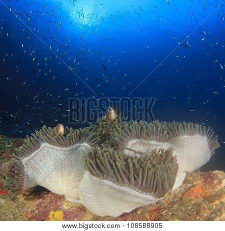 Anemone and Skunk Clownfish (Anemonefish)