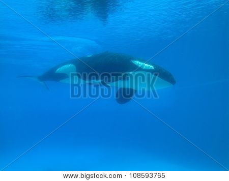 colored photo of a killer whale under water