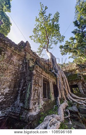 Banyan Trees Groving On Walls Of Ta Prohm  Temple