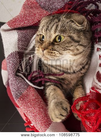 Scottish Fold Cat Lies Under The Checkered Colored Plaid