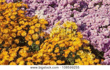 Yellow-pink chrysanthemum
