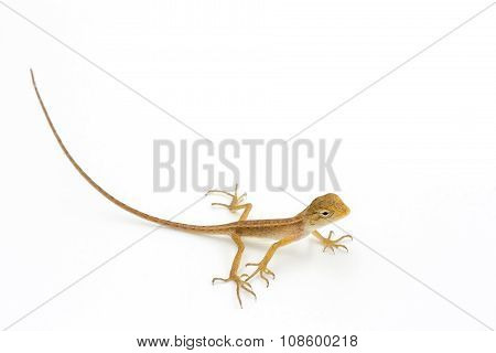 Asia Chameleon On White Background.