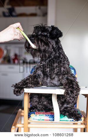 Man Feeding Funny Dog Schnauzer As A Baby