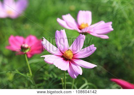 Cosmos flower,Cosmos Bipinnata Hort