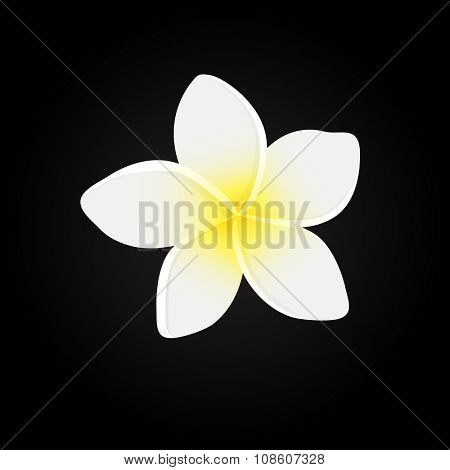 White plumeria  flower.  Vector illustration of white Frangipani flowers on black backgrouns. Spa or beauty center logo.