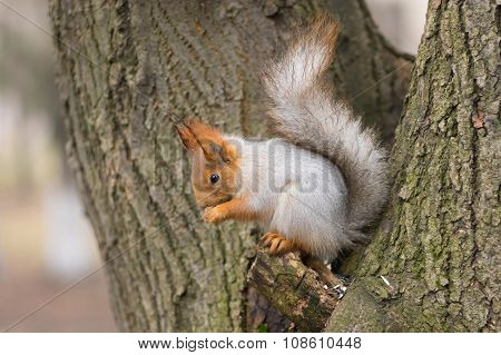 Eurasian red squirrel sitting on a tree