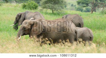 Elephants Family, Africa