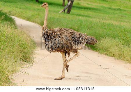 Wild Ostrich, Africa