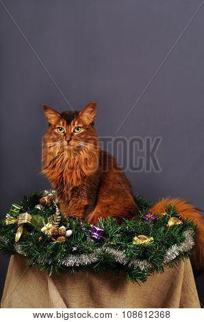 Somali cat ruddy color Christmas portrait