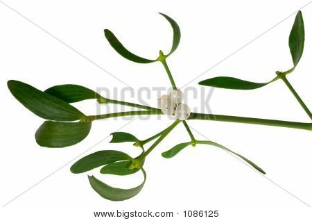 Mistletoe Sprig With Berries And Leafs