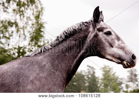 Gray Young Horse Portrait In Summer
