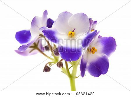White And Blue African Violet