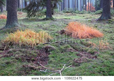 Colored Grass In The Autumn Coniferous Forest