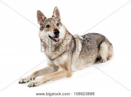 Alert Czechoslovakian Wolfdog