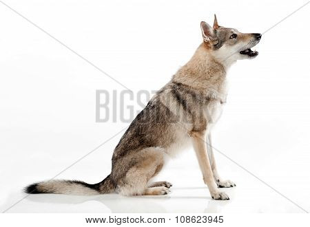Czechoslovakian Wolfdog Sitting Barking
