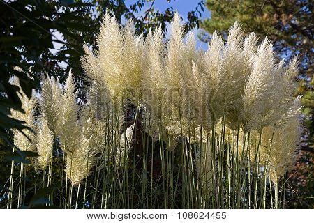 Reed Flowers
