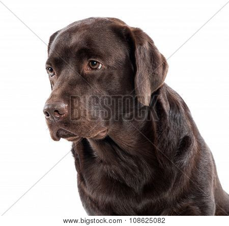Gentle Lovable Chocolate Labrador Retriever